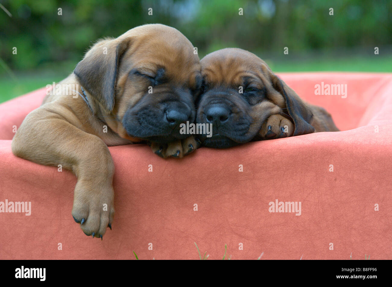 Rhodesian Ridgeback (Canis lupus familiaris), two puppies sleeping - Stock Image
