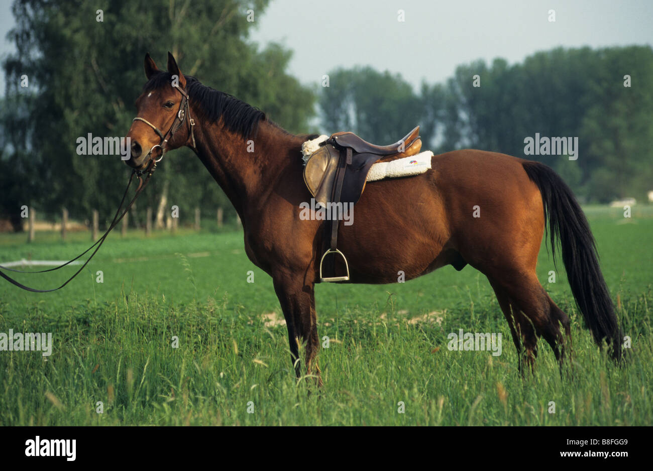 Budyonny, Budenny (Equus ferus caballus). Brown gelding with saddle and bridle standing on a meadow - Stock Image