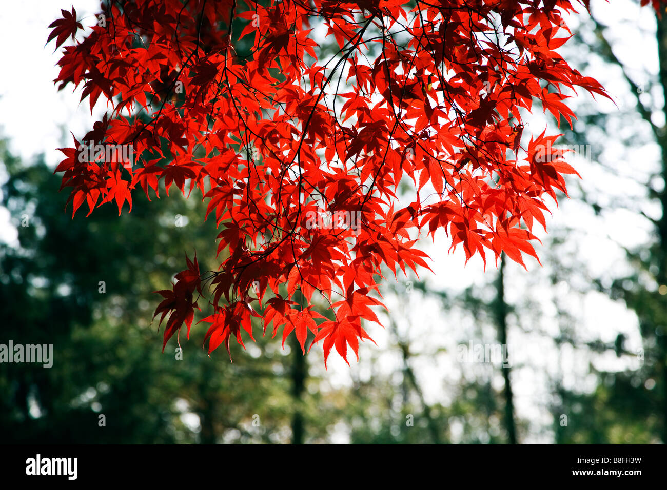 Bright red leaves of a Japanese Maple tree backlit by the afternoon autumn sun - Stock Image