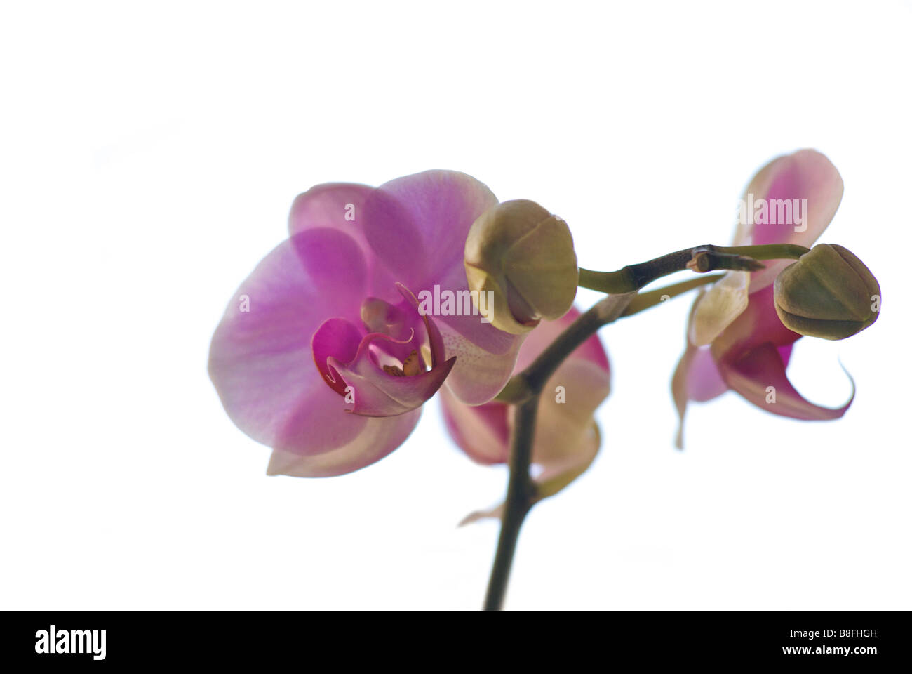 Thai orchid against a white background. Thailand - Stock Image