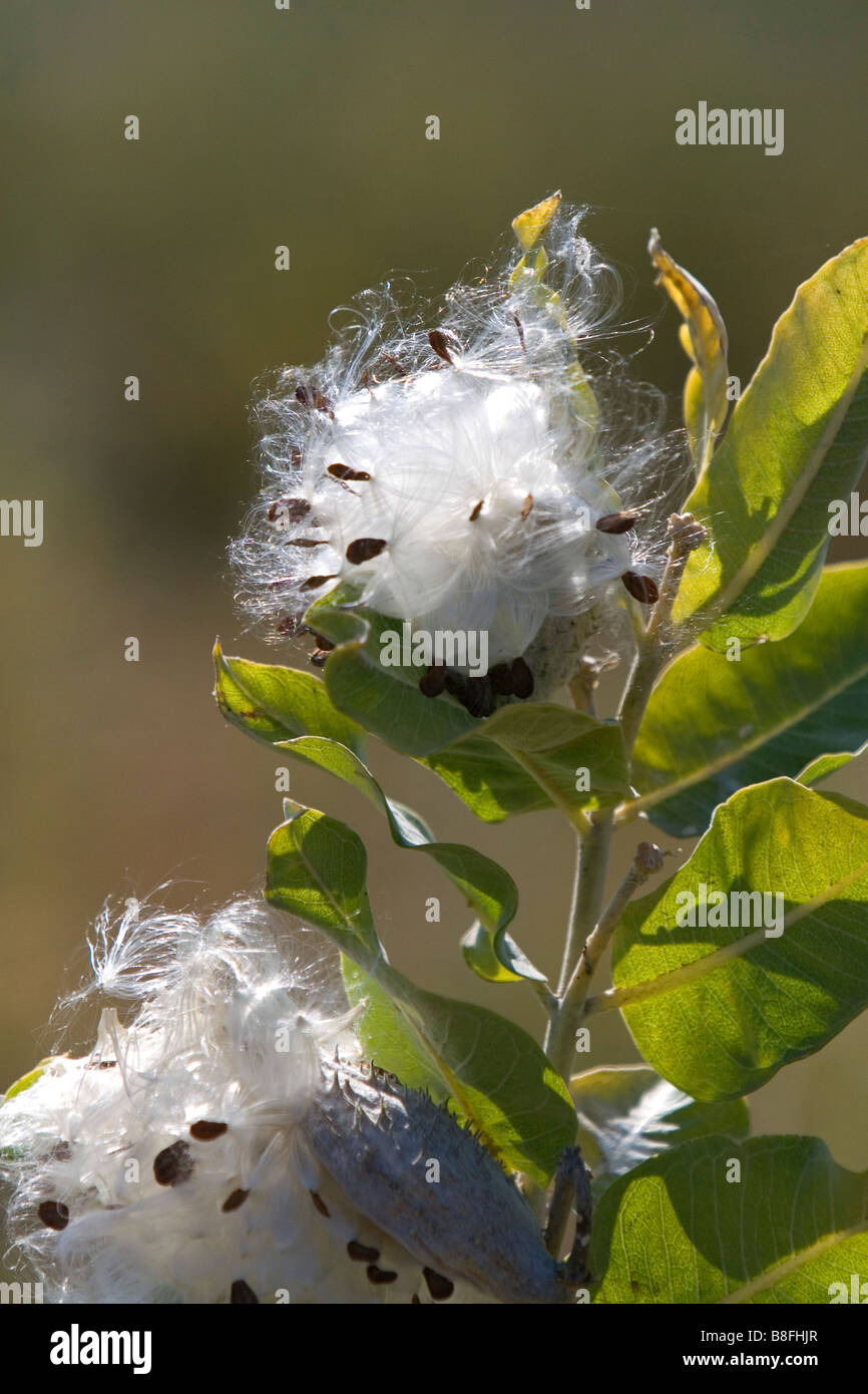 The seed of a showy milkweed plant in Payette County Idaho USA - Stock Image