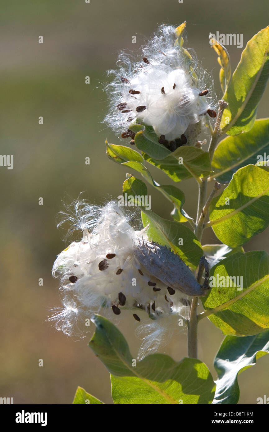 The seeds of a showy milkweed plant in Payette County Idaho USA - Stock Image