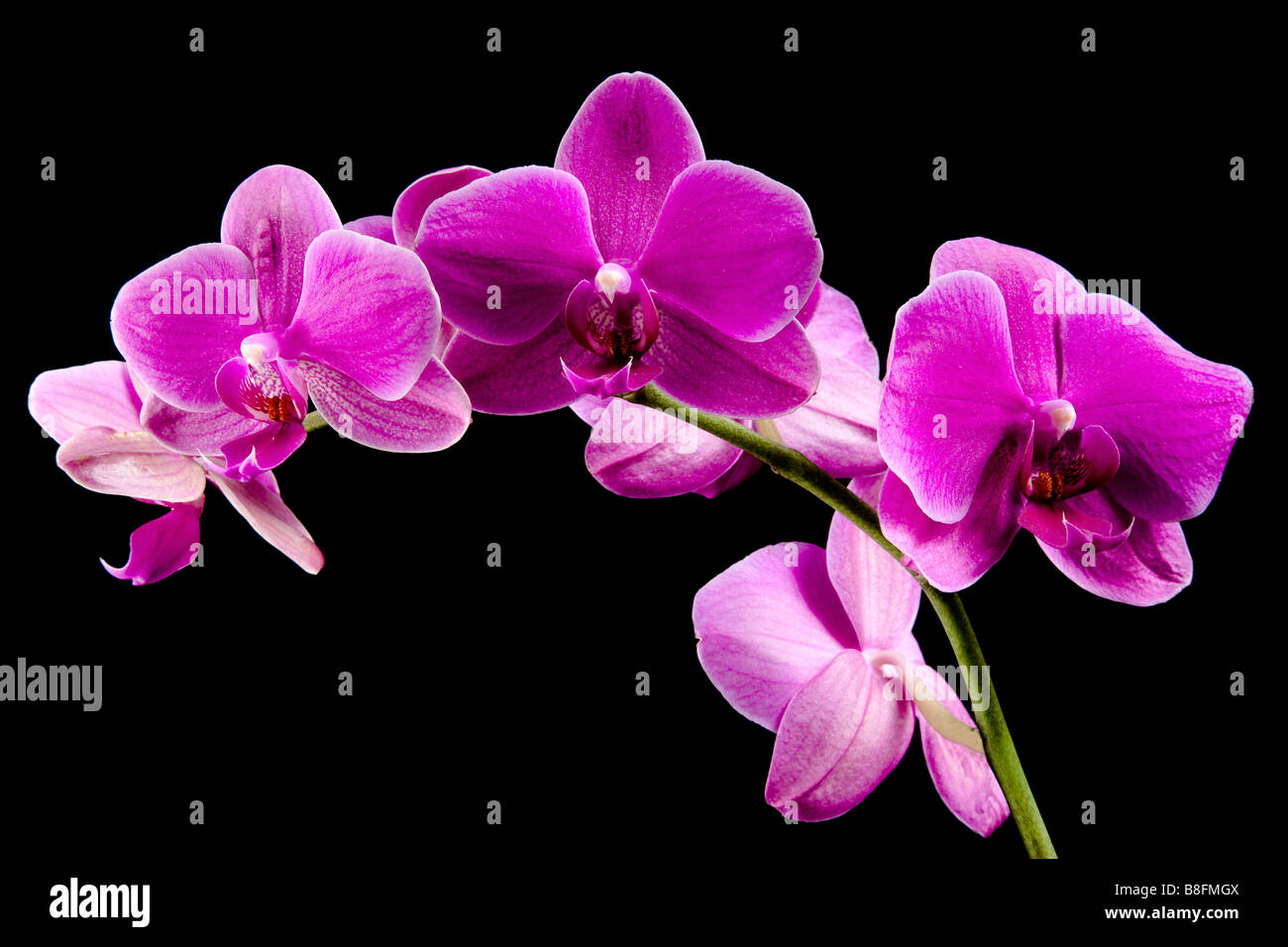 Exotic Pink Orchid Orchidaceae - Stock Image