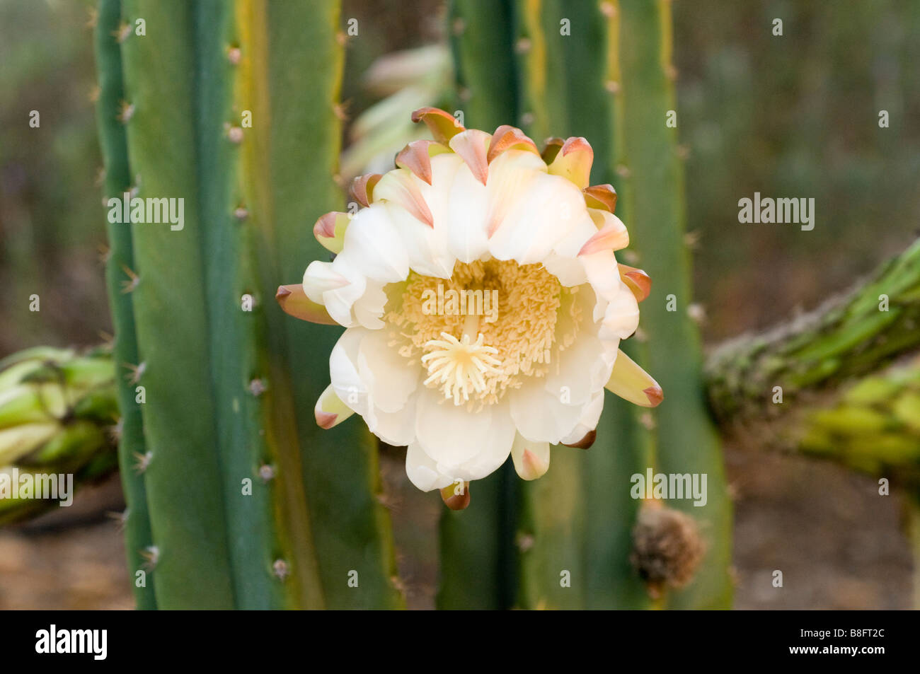 The Bloom Of A San Pedro Cactus Stock Photo 22475780 Alamy