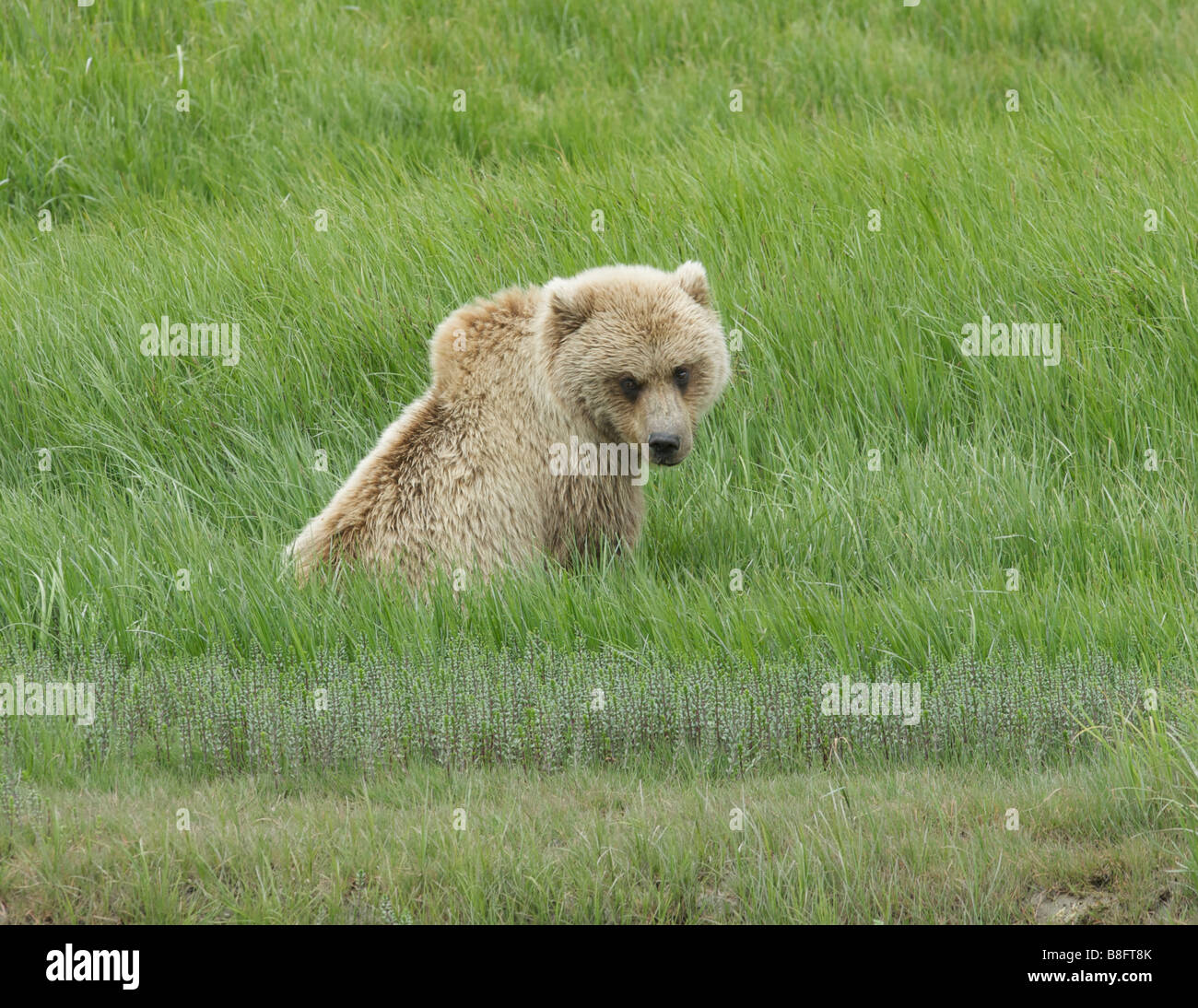 The Brown Bear (Ursus arctos) sits in the tall grass resting and the mid day sun. Stock Photo