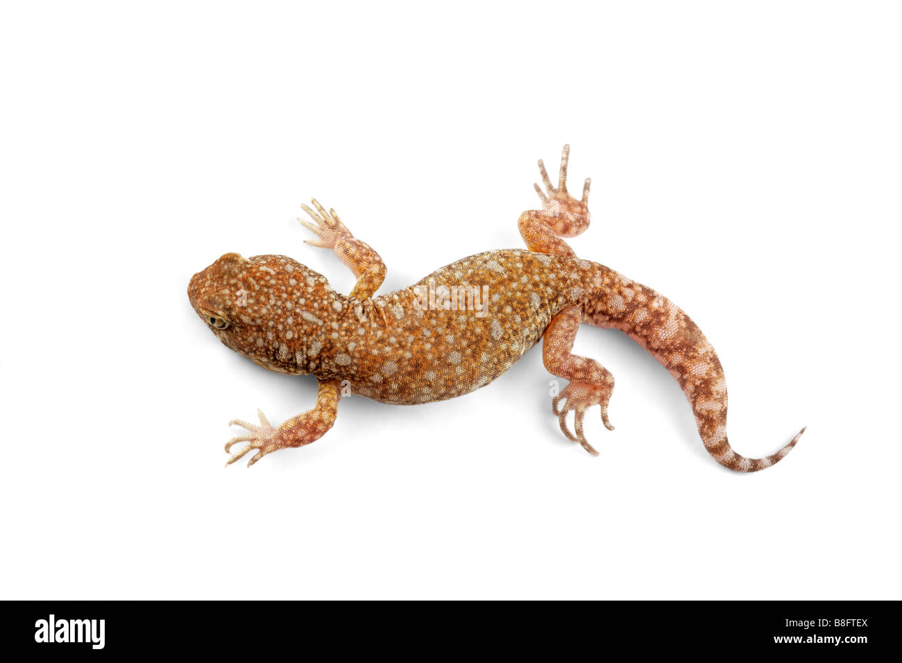 An African common barking gecko (Ptenopus garrulus) on white - Stock Image