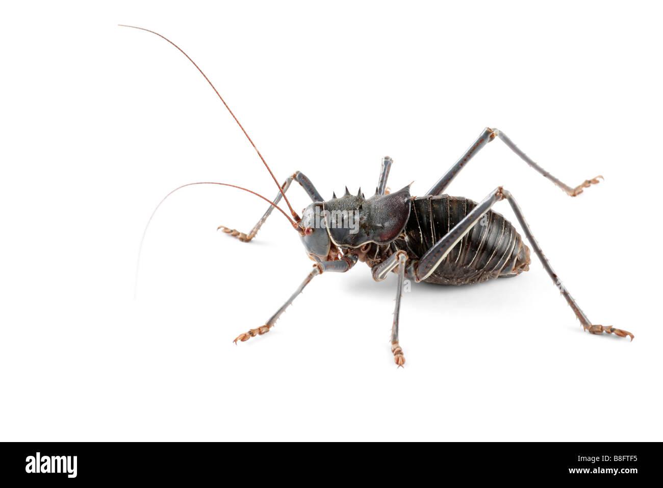 An African Armoured ground cricket (Family Bradyporidae) on white - Stock Image