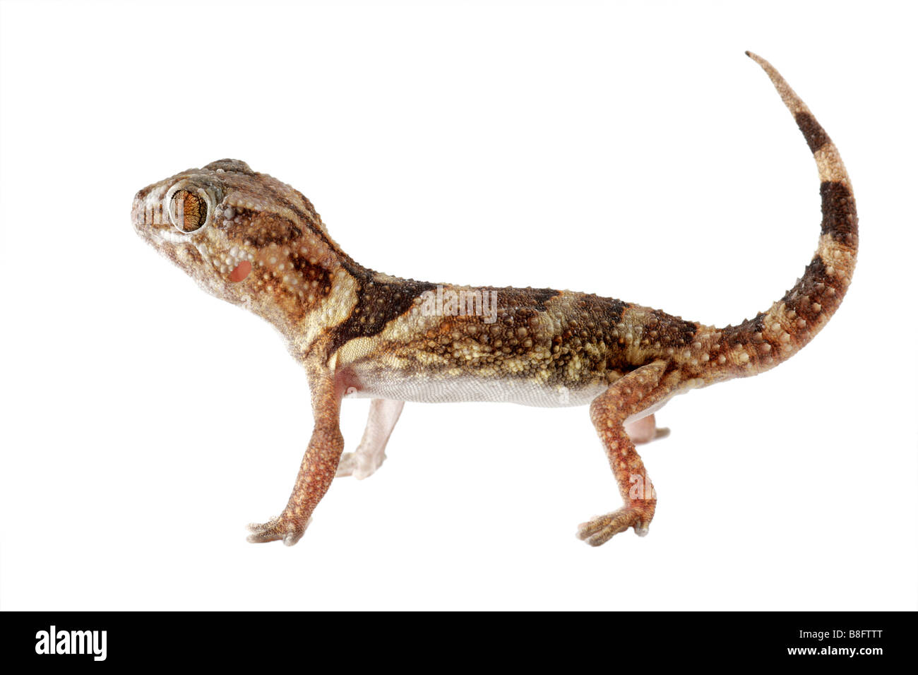 An African giant ground gecko (Chondrodactylus angulifer) on white - Stock Image