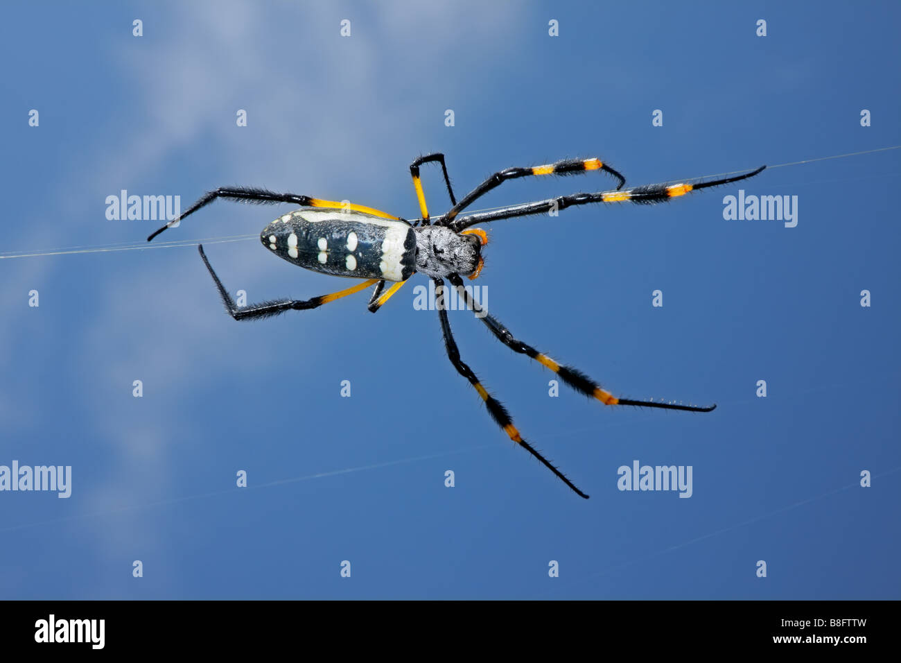 Golden orb web spider (Nephila senegalensis) against a blue sky, South Africa - Stock Image