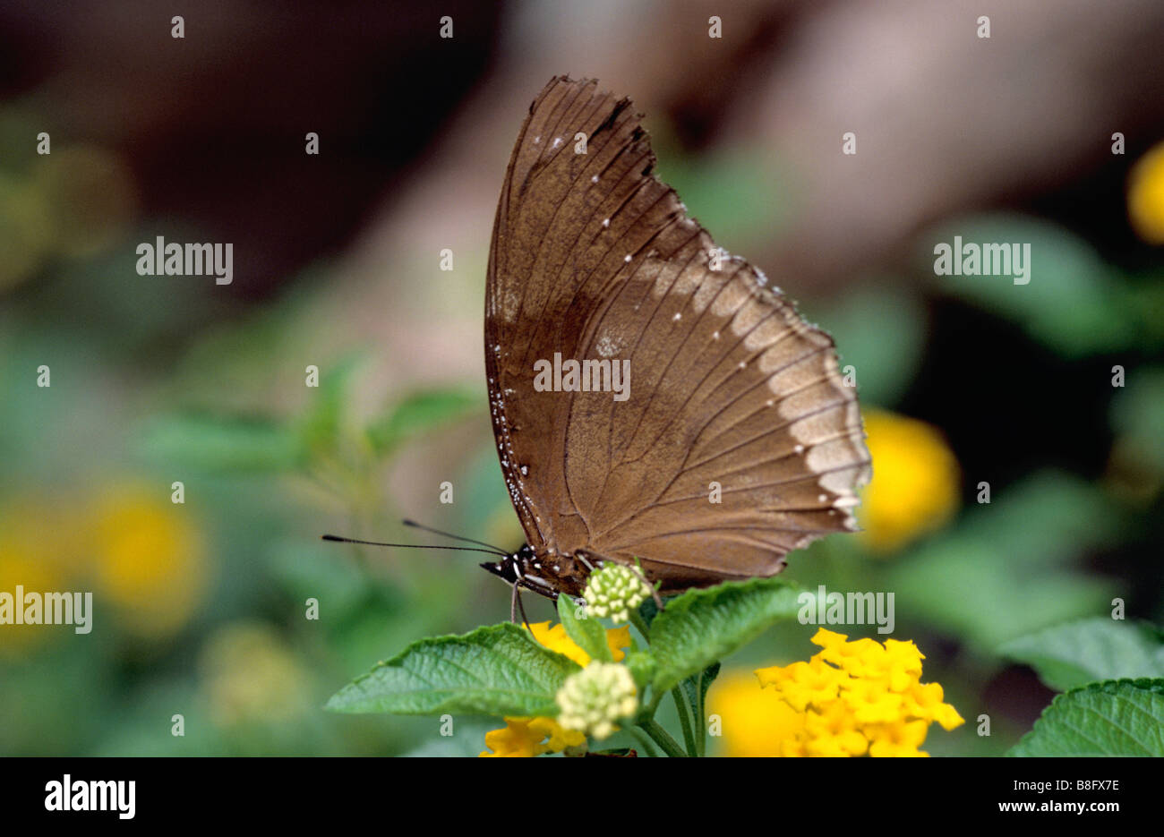 Common Crow Butterfly (Euploea core) from Amboli, Maharashtra, India. - Stock Image