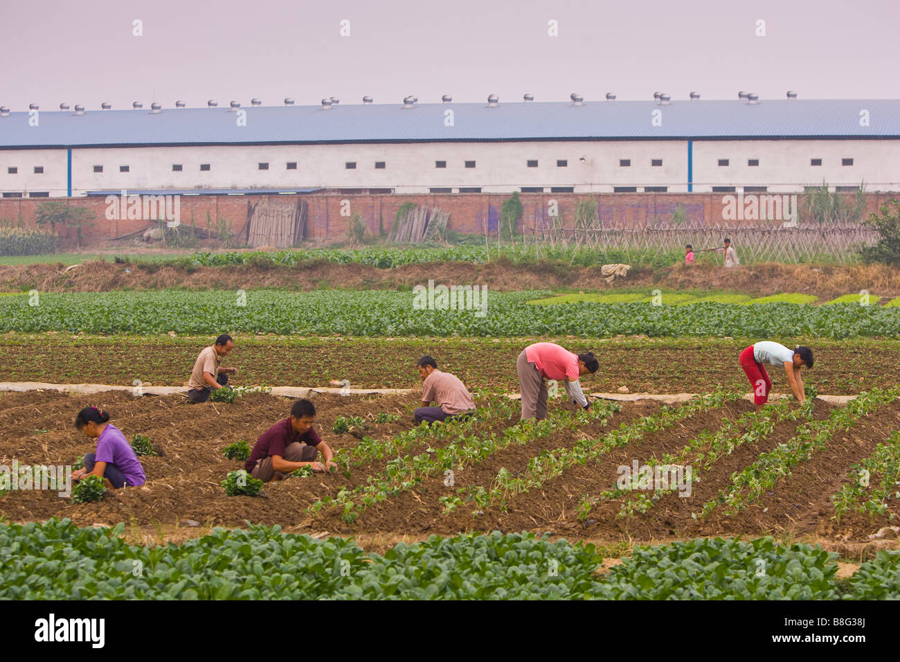 PAN YU, GUANGDONG PROVINCE, CHINA Agricultural workers plant