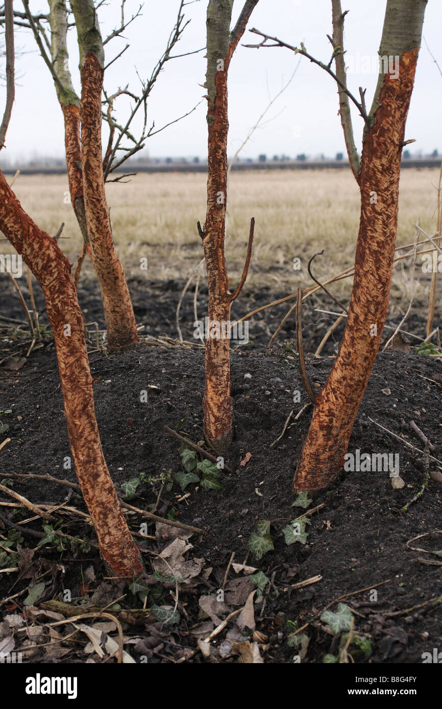 Rabbit damage to trees - Stock Image