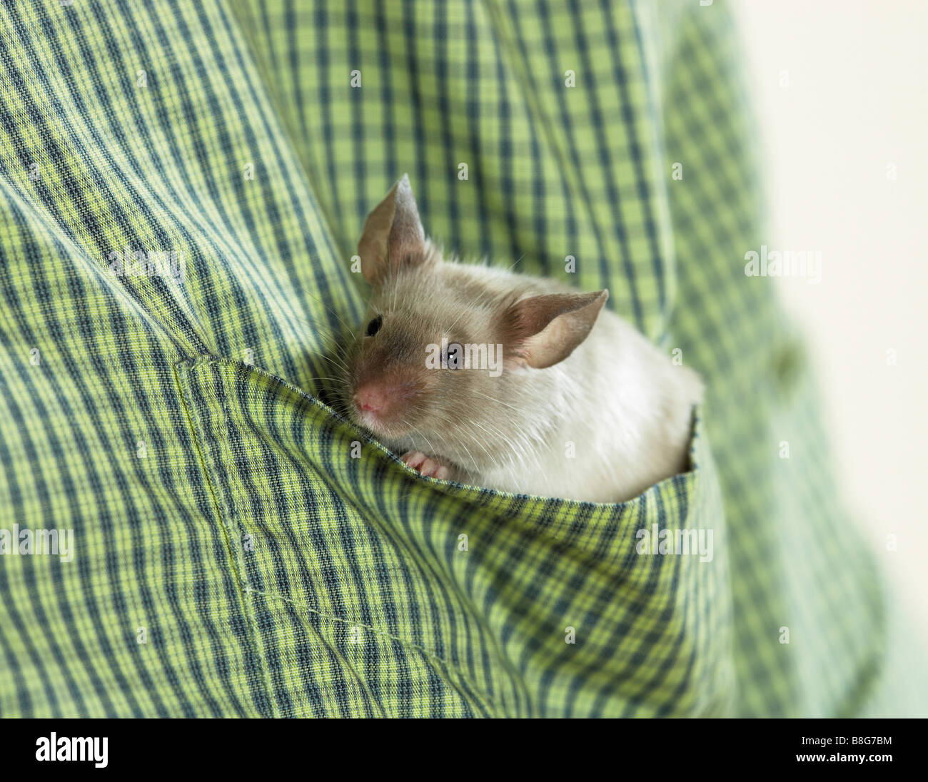 fancy mouse in shirt - Stock Image
