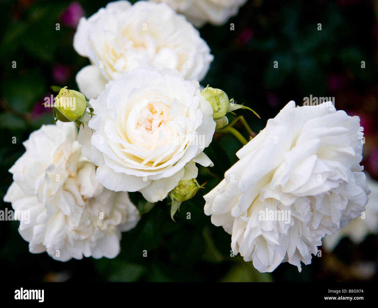 White Roses from Portland Rose Garden - Stock Image