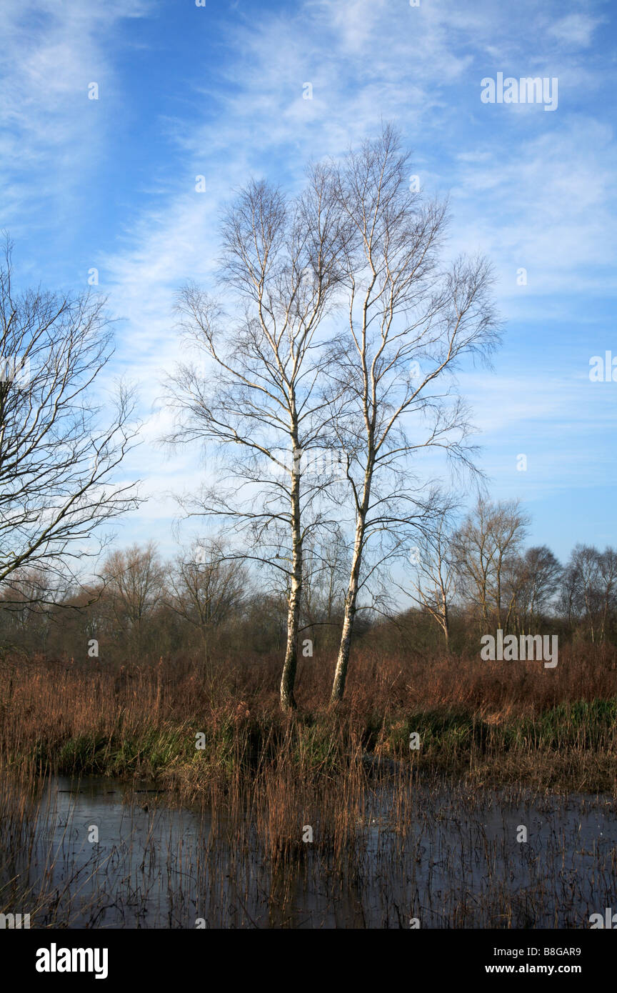 Birch trees growing in a small area of marsh on the Norfolk Broads. Stock Photo