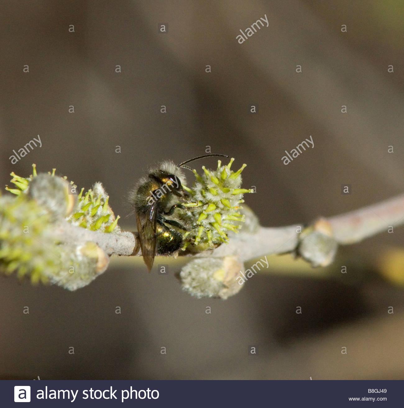 Halictid Bee Halictidae  feeding - Stock Image