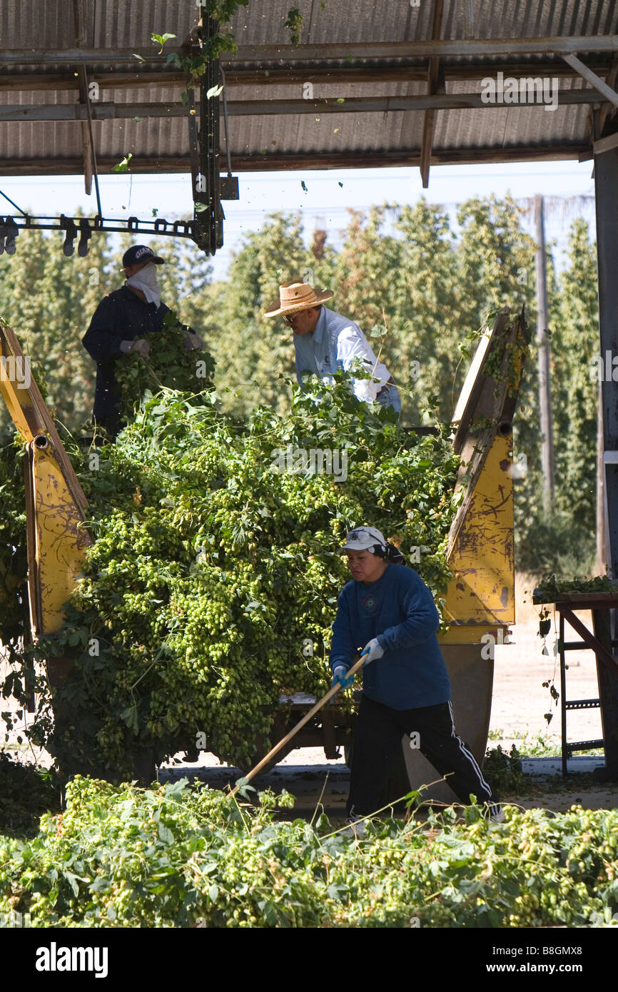 Hops being harvested in Canyon County Idaho USA - Stock Image