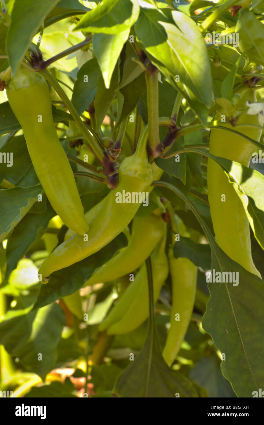 Yellow Sweet Banana Peppers Growing In A Home Garden In Kentucky Usa