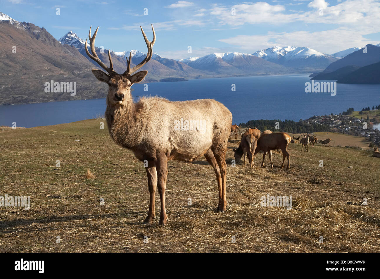Red Deer Cervus elaphus Deer Park Heights Queenstown South Island New Zealand - Stock Image