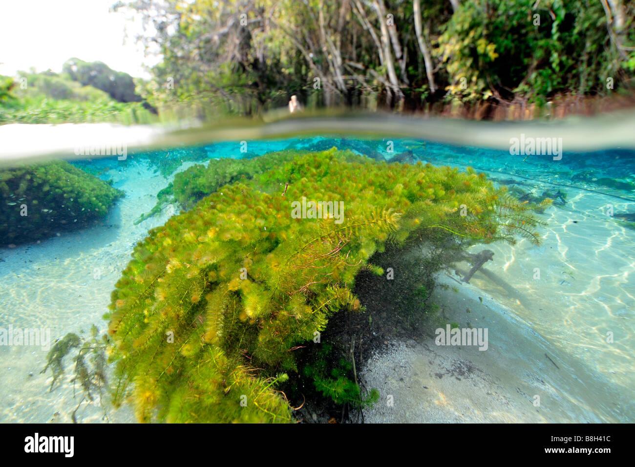 Underwater vegetation, predominantly stonewort algae, Chara rusbyana, at Sucuri River, Bonito, Mato Grosso do Sul, - Stock Image