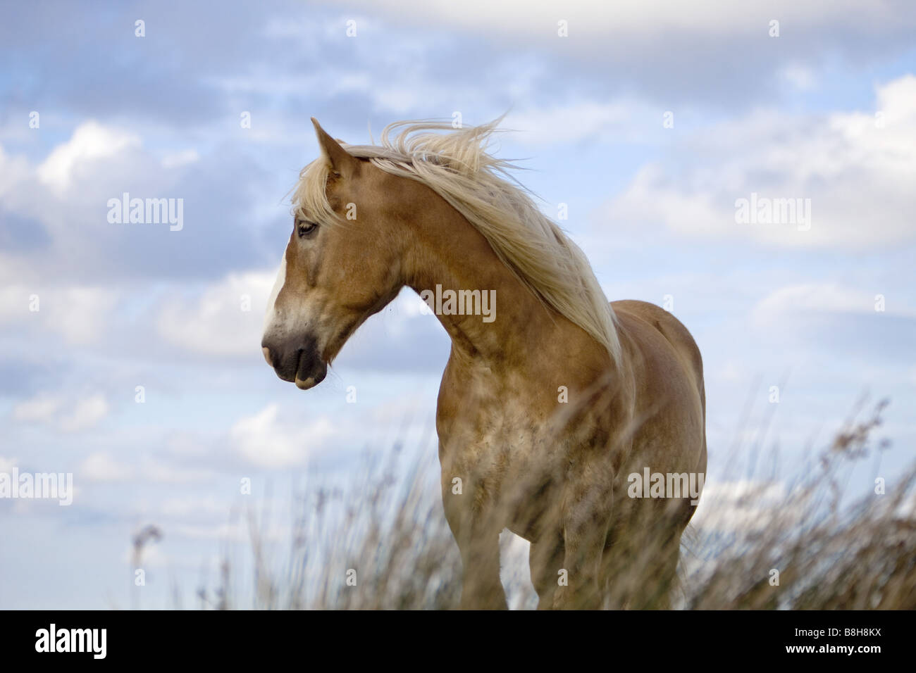 Schleswiger heavy draft horse - standing - Stock Image