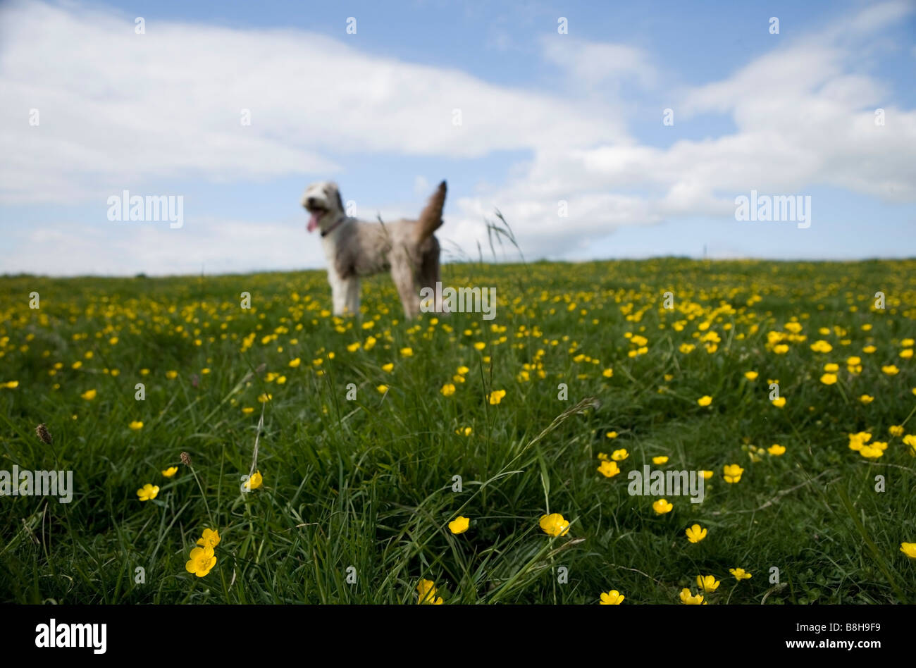 Bearded collie running standing in a meadow - Stock Image