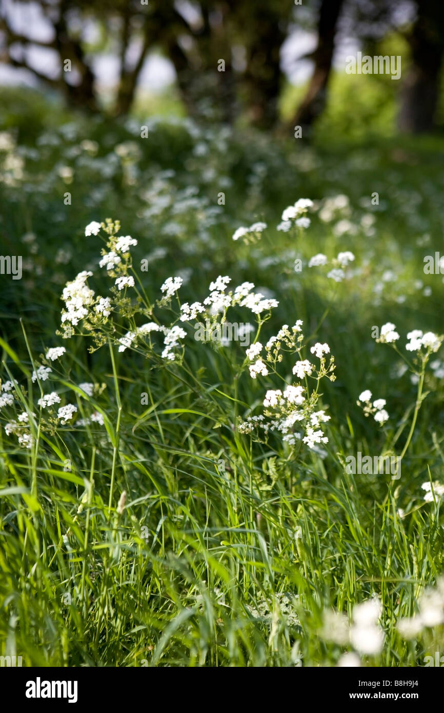 COMMON NAME: Cow parsley Latin name: Anthriscus Sylvestris - Stock Image