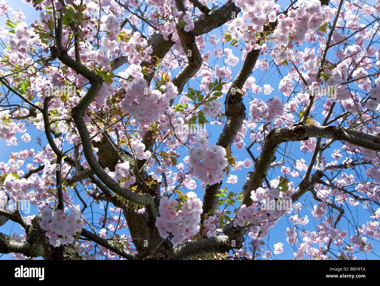 Pink blossom in spring back with a blue sky background - Stock Image