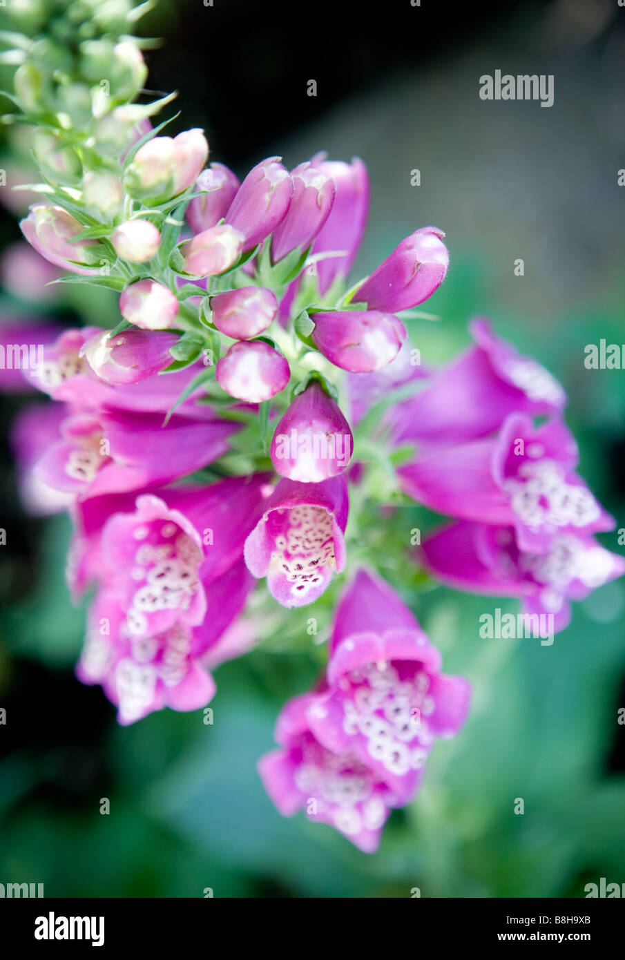 Common name: Foxglove Latin name: Digitalis - Stock Image