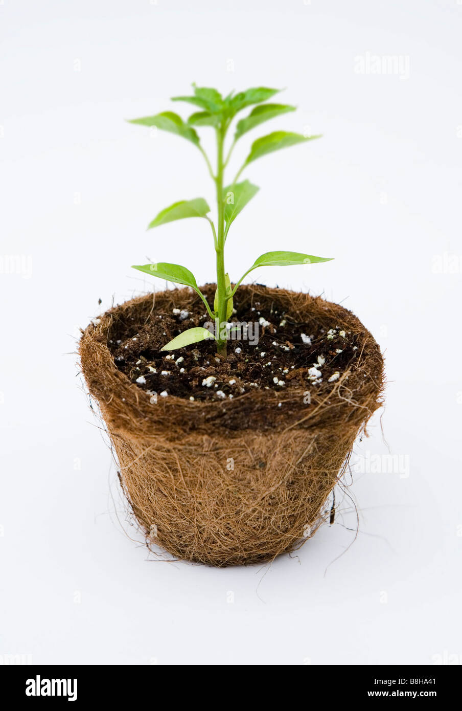 Chilli plant - Thai Dragon - Stock Image