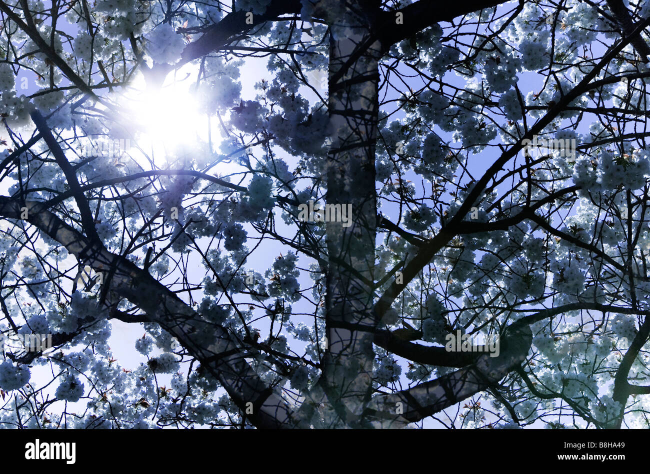 White blossom in spring back lit by the sun - Stock Image
