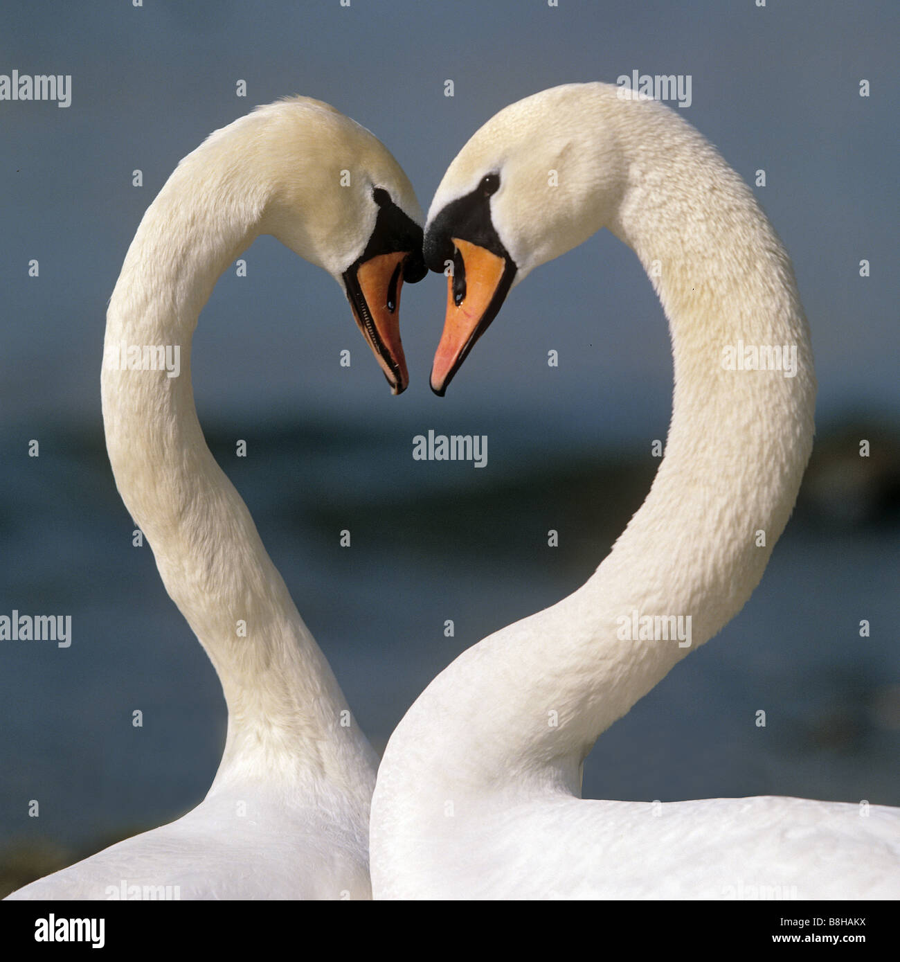 Mute Swan (Cygnus olor), couple displaying, forming a heart Stock Photo