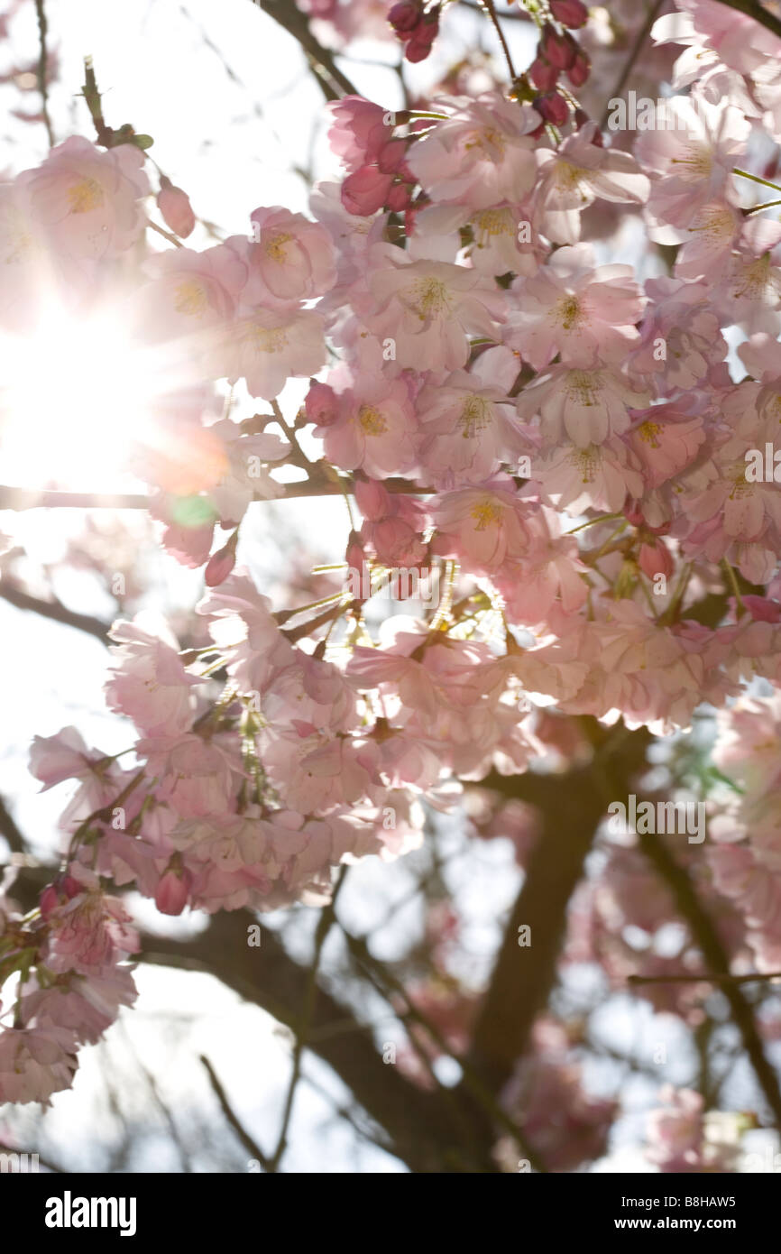 Cherry blossom in spring - Stock Image