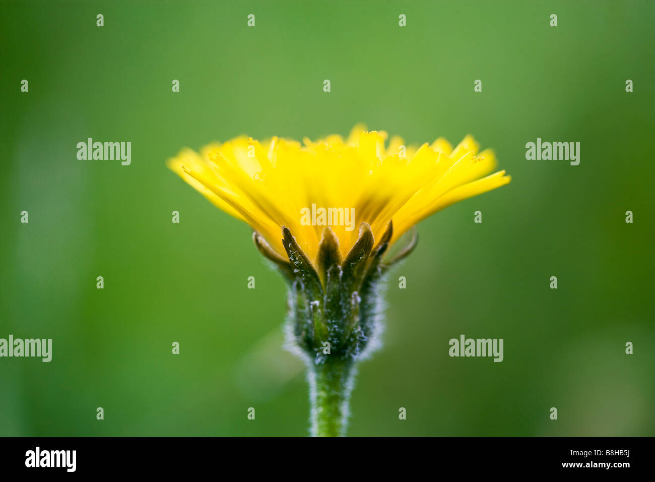 Dandelion flower close up.  Latin name:Taraxacum Officinale - Stock Image