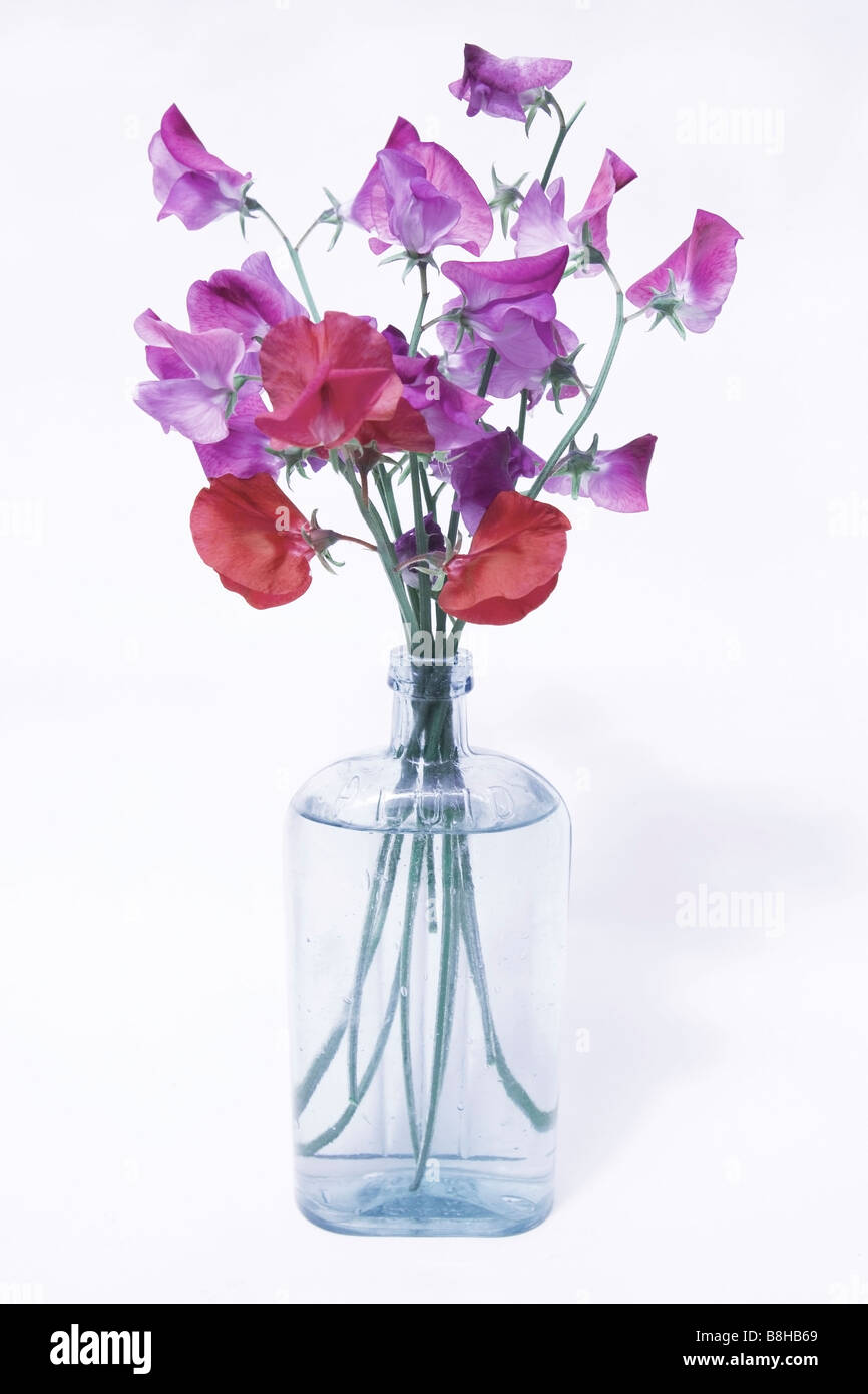 COMMON NAME: Sweet pea LATIN NAME: Lathyrus odoratus - Stock Image
