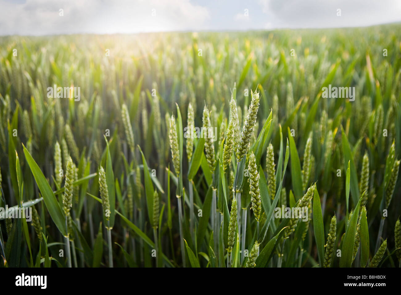 Close up shot of Barley field - Stock Image