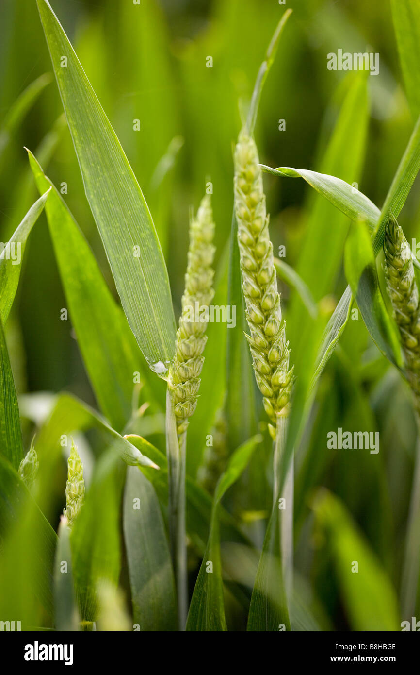 Close up shot of Barley - Stock Image