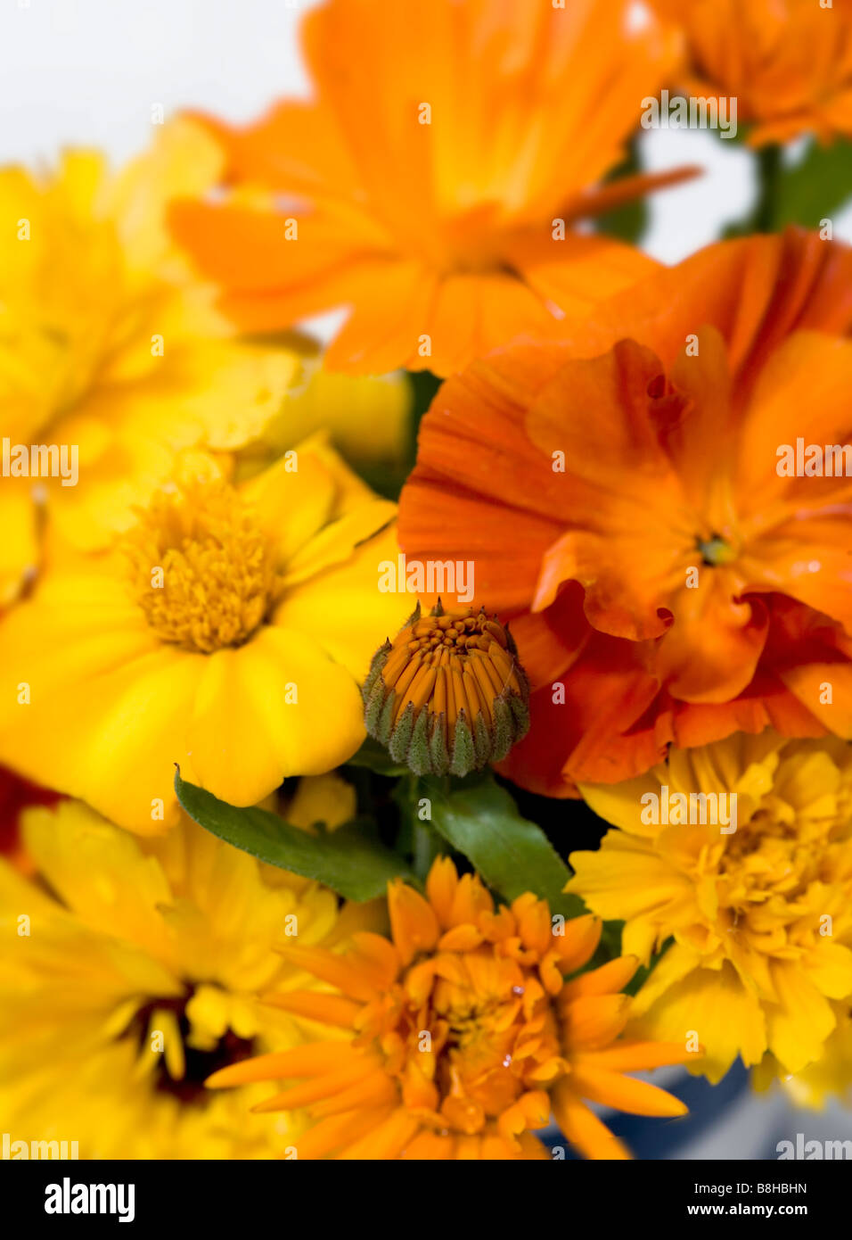 Close up shot of Marigolds and California Poppies against a white background - Stock Image