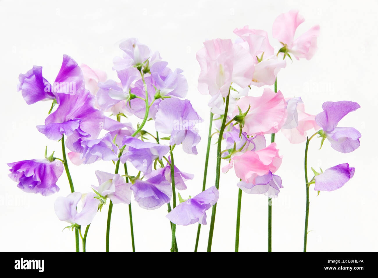 Pink and mauve Sweet peas. Latin name: Lathyrus odoratus - Stock Image