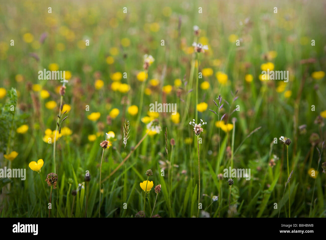 Wild flower meadow - Stock Image