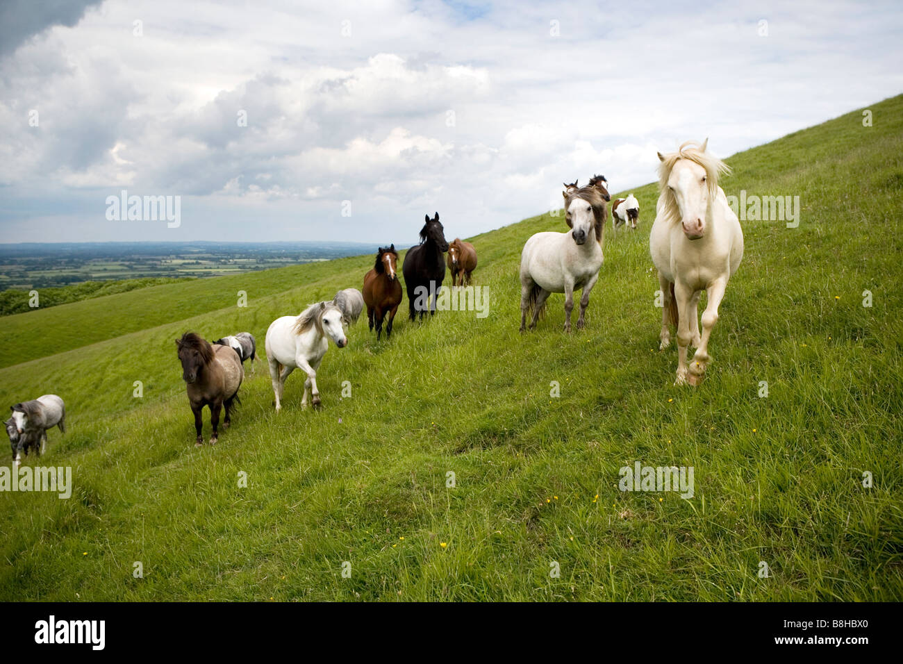 Horses and ponies roaming over the south downs. - Stock Image