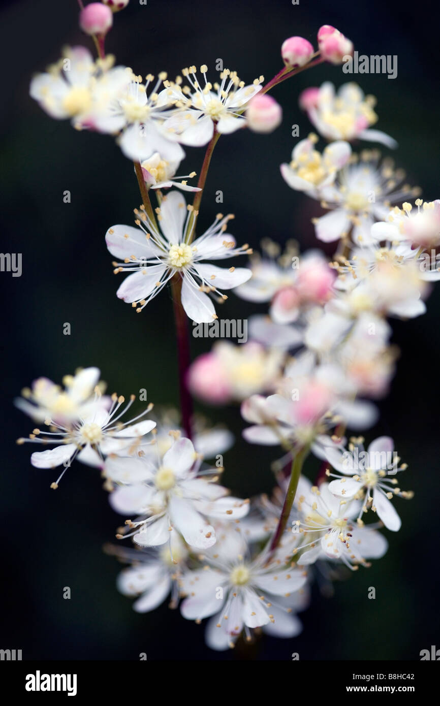 Common name: Meadow sweet. Latin name: Filipendula ulmaria - Stock Image