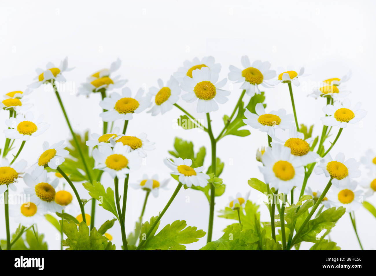 Close up shot of flowering Feverfew Latin Name: Chrysanthemum parthenium - Stock Image