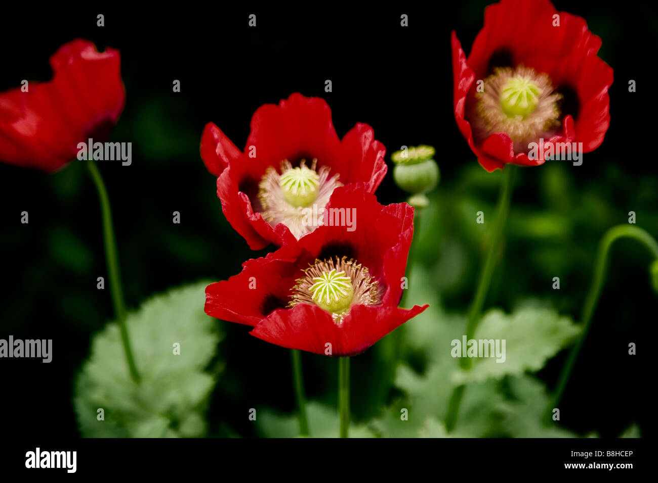 Red wild poppy Latin name: papaver rhoeas - Stock Image
