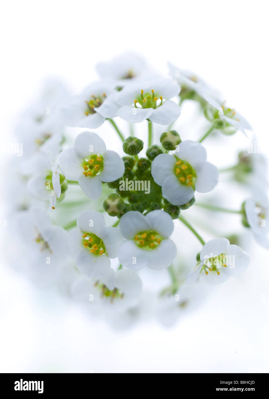 Close up/macro shot of white flower shot in the studio against a white background. - Stock Image