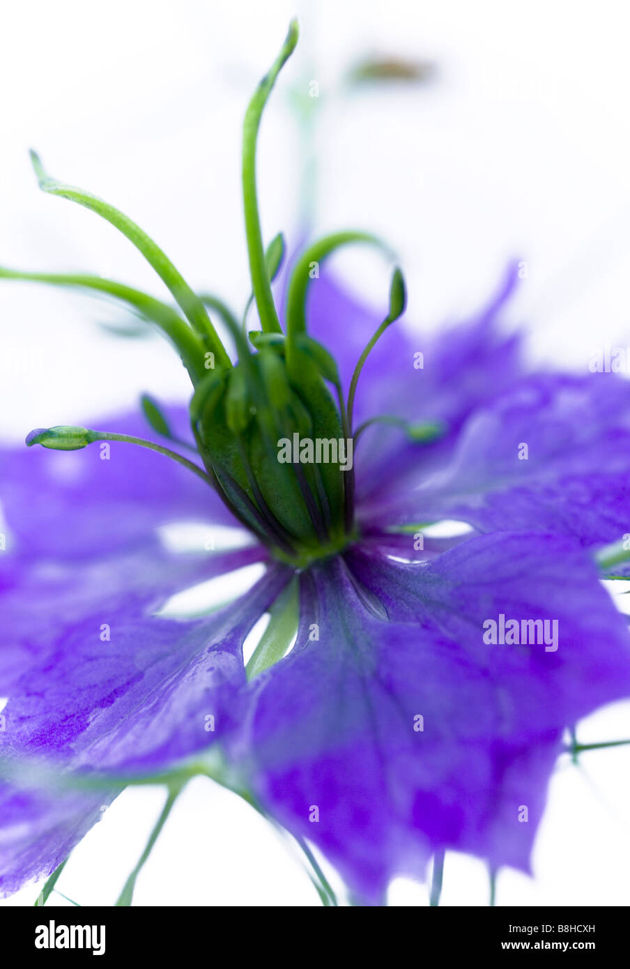 Common name: Love in a mist. Latin name: Nigellla - Stock Image