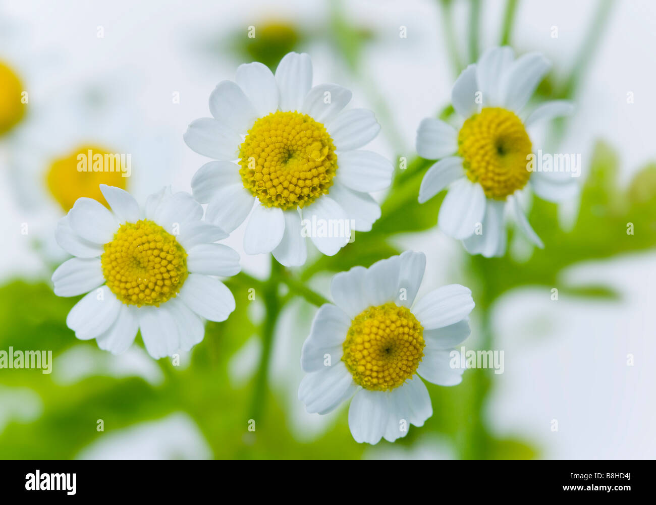 Close up shot of flowering Feverfew - Stock Image