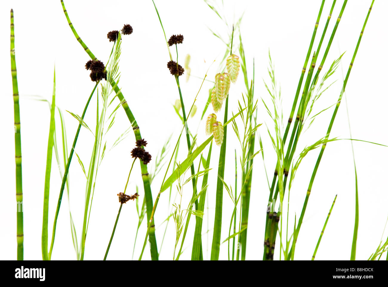 Studio shot of wild ornamental grasses on a white background. - Stock Image
