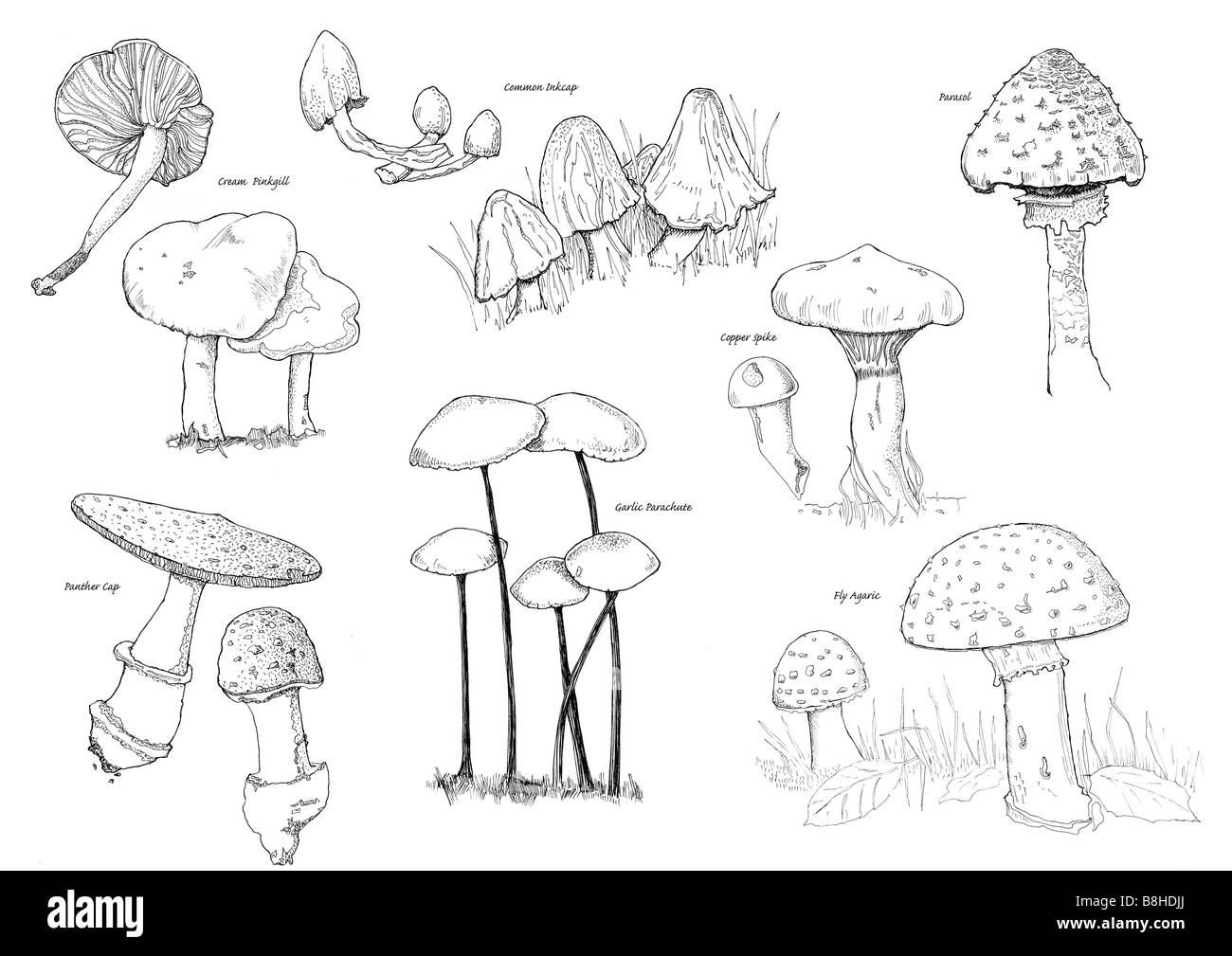 Pen and ink illustration of British Fungi - Stock Image