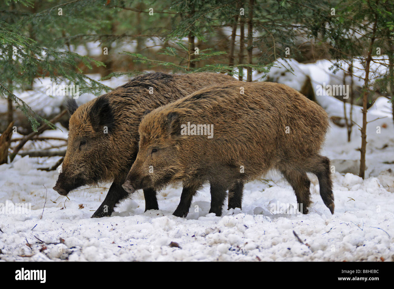 two wild boars - walking in the snow / Sus scrofa - Stock Image